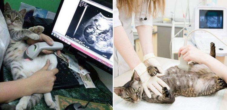 Беременной кошке делают УЗИ