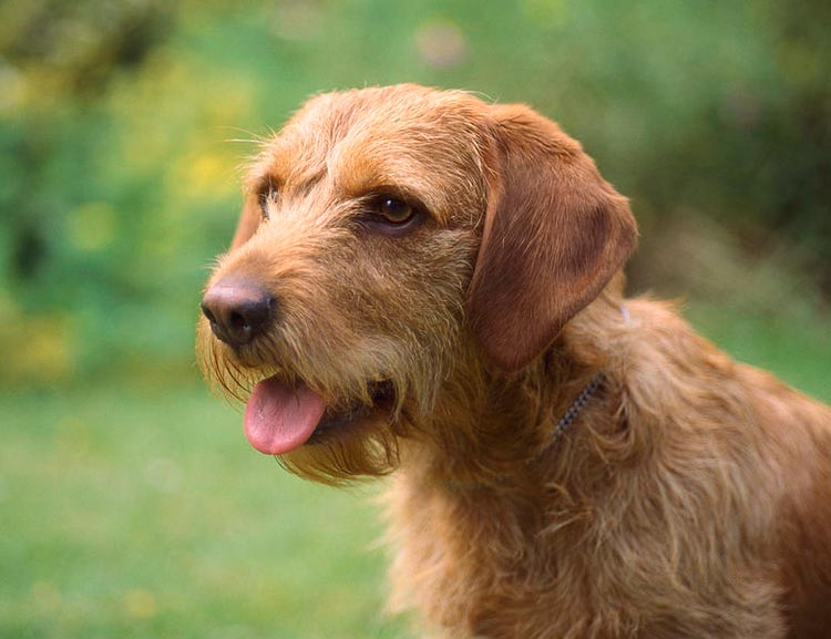 собака породы Рыжий бретонский бассет