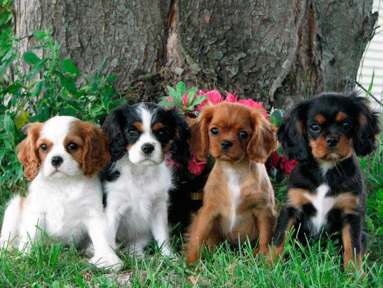 Кавалер-кинг-чарльз-спаниель щенки