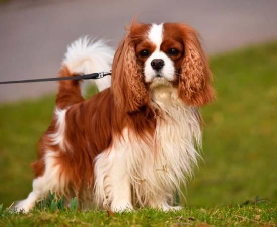 собака породы Кавалер-кинг-чарльз-спаниель