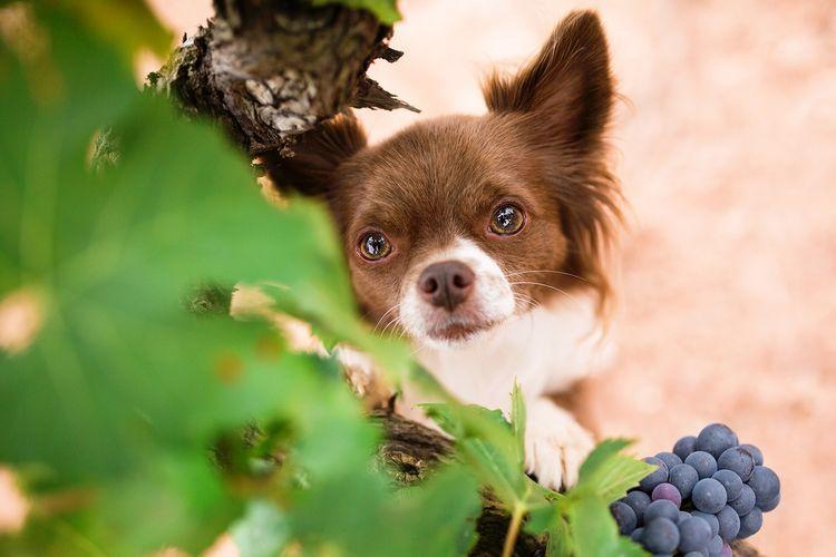 Собака есть виноград