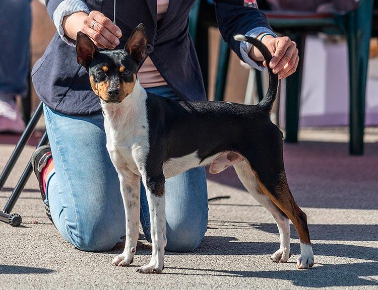 собака породы Валенсийский ратер