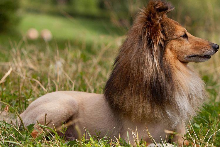 Стрижка собаки породы шелли