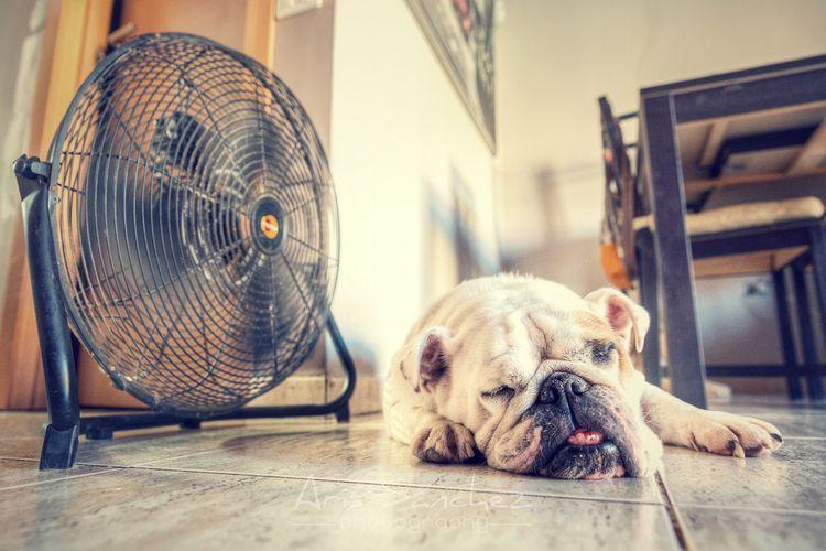 Собака спит под вентилятором
