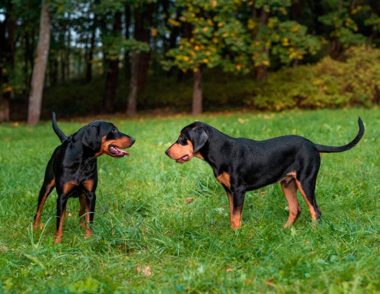 две литовские гончие