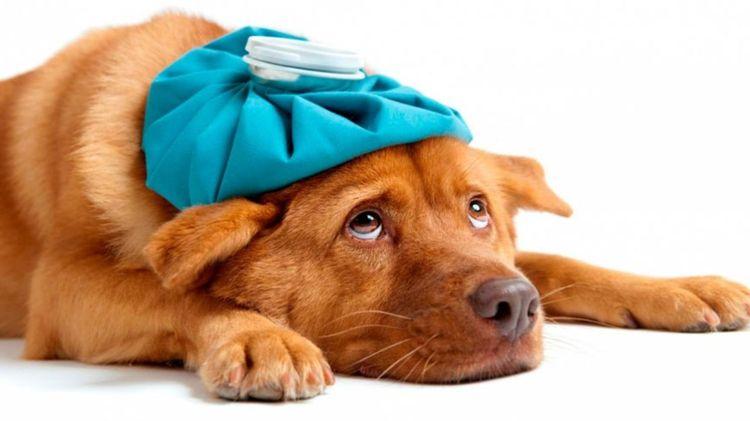 Передается ли коронавирус от собак к человеку