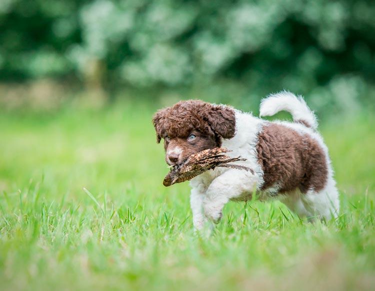 Веттерхун щенок