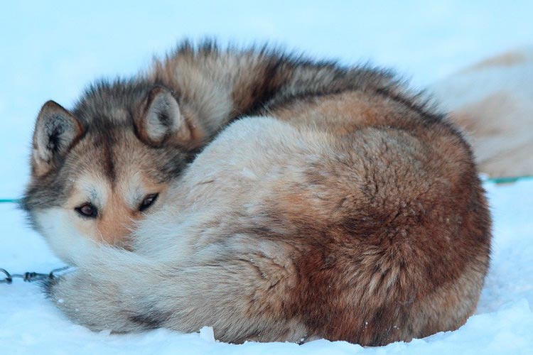 Чукотская ездовая спит на снегу
