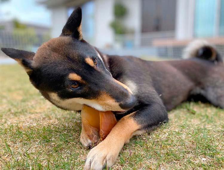 характер собак Дземон-сиба