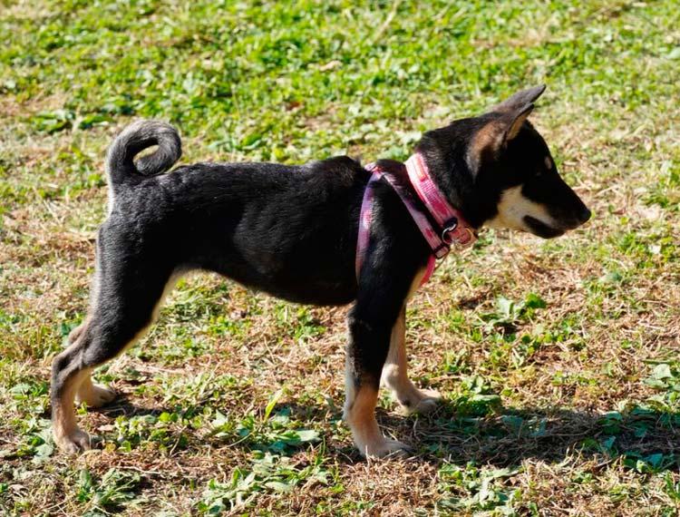 Собака породы Дземон-сиба