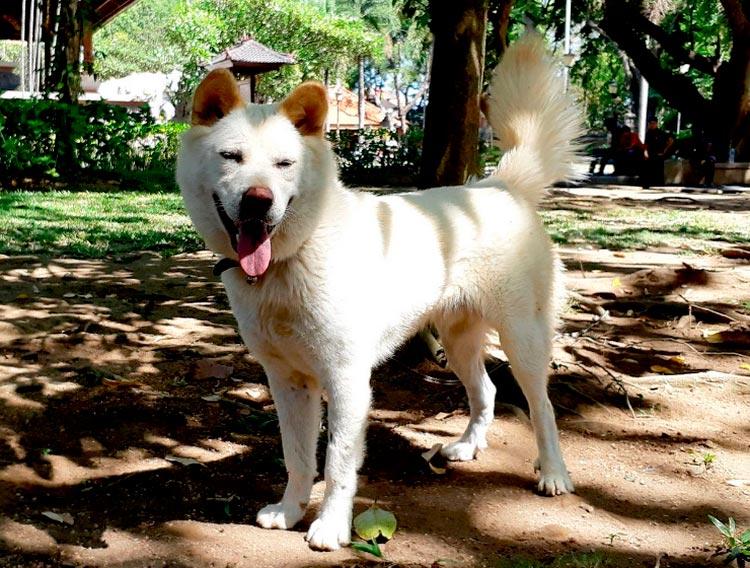 порода собак кинтамани