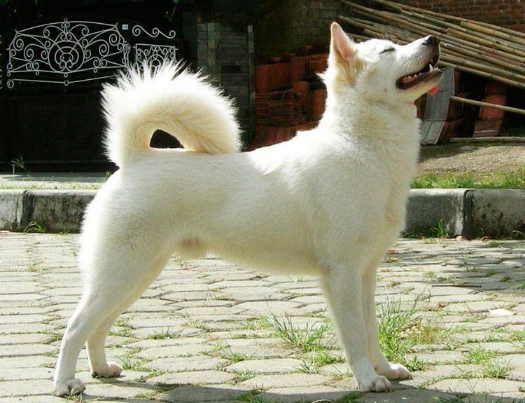 собака породы кинтамани