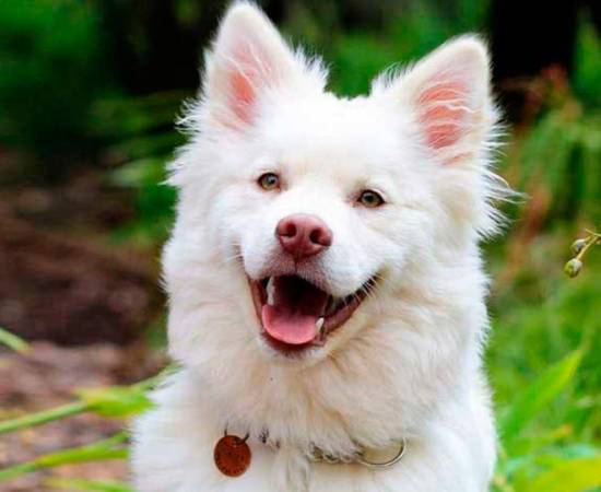 как выглядит собака кинтамани