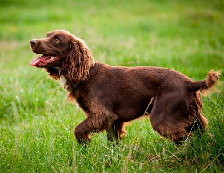 порода собак Бойкин спаниель