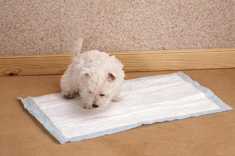 Туалет собаки на пеленке