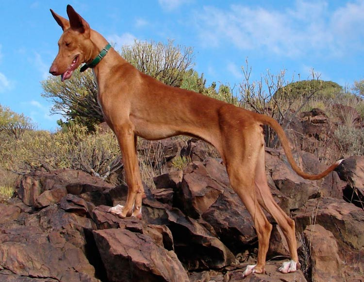 собака породы Поденко канарио