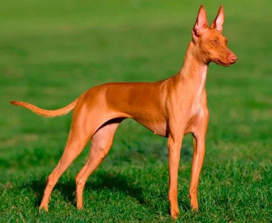 порода собак Поденко канарио