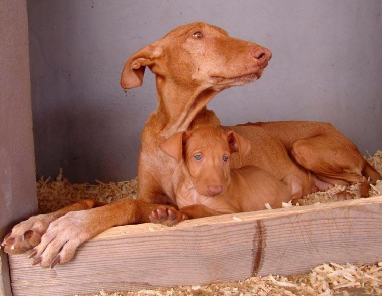 Поденко канарио со щенком