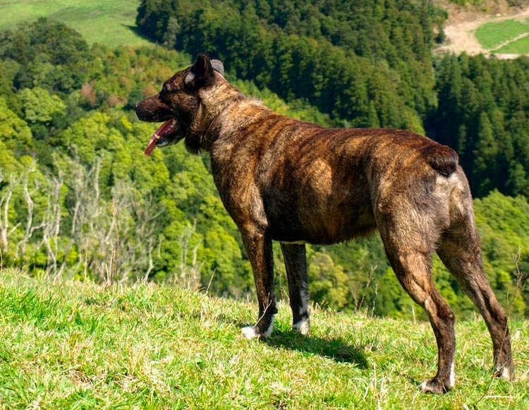 собака породы Азорская пастушья собака