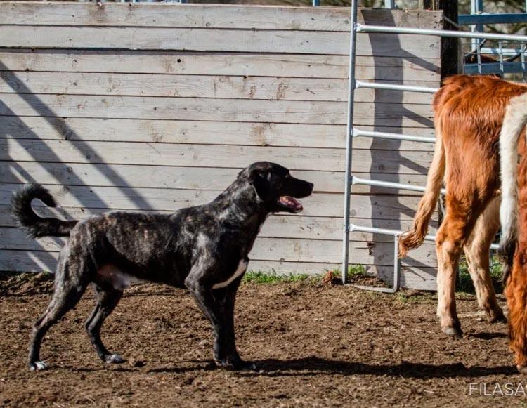 Азорская пастушья собака сан-мигельский фила