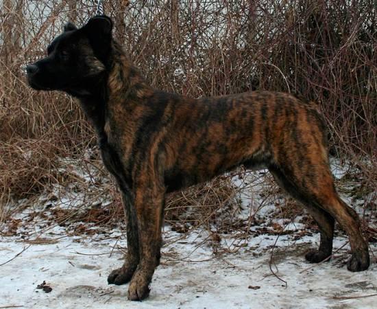 порода Азорская пастушья собака