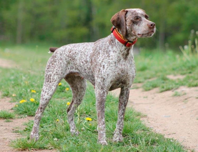 порода собак бурбонский бракк