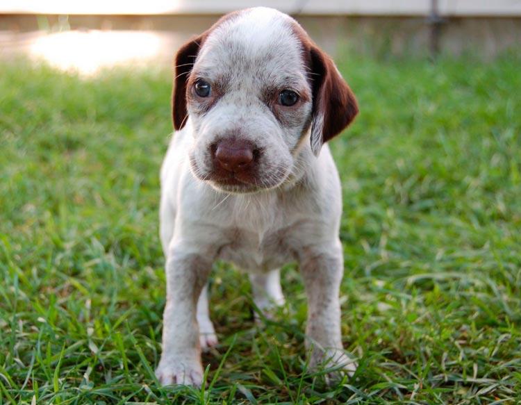 бурбонский бракк щенок