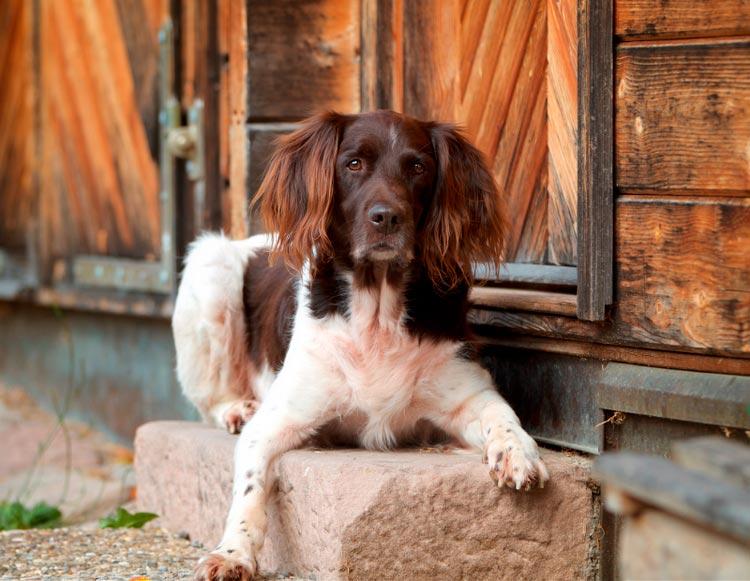 собака породы Малый мюнстерлендер