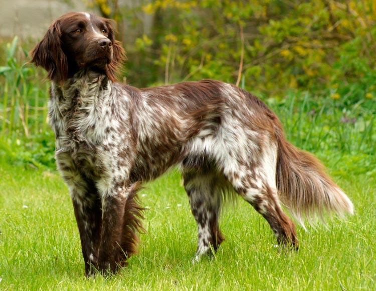 порода собак Малый мюнстерлендер