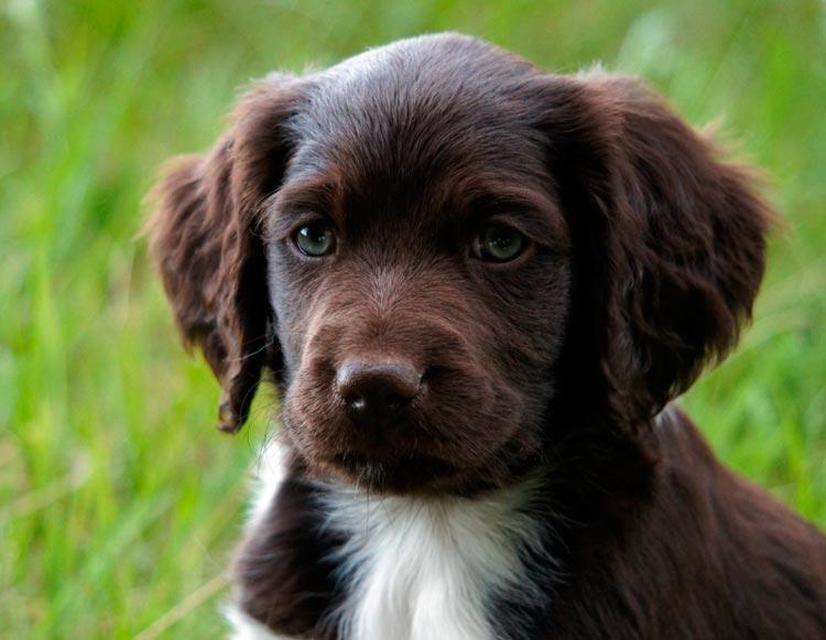 Малый мюнстерлендер щенок