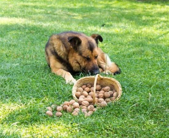 Собака и орехи