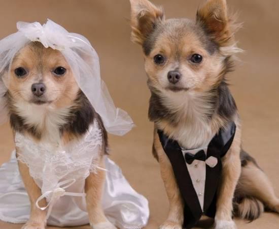 Собаки в свадебной одежде