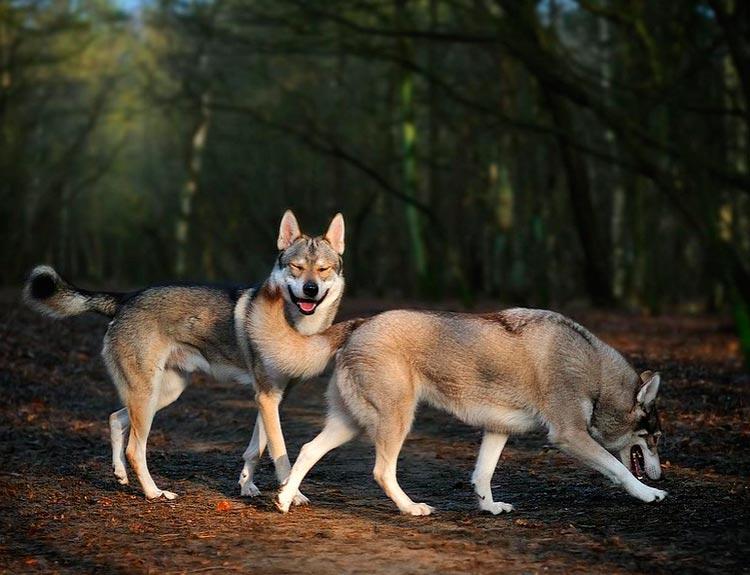 две тамасканские собаки