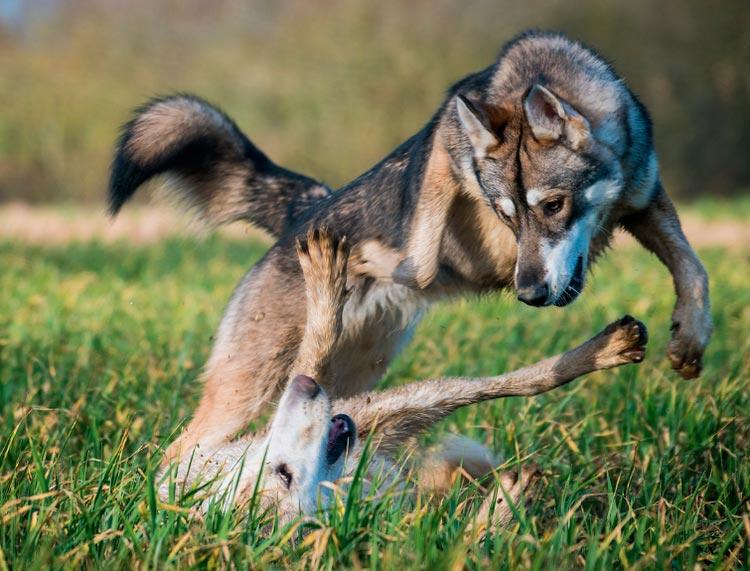 порода Тамасканская собака