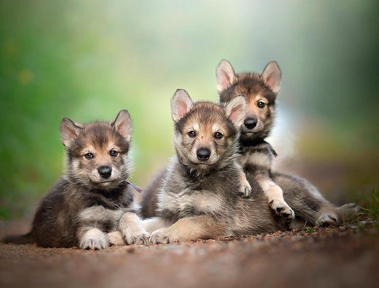 тамасканские щенки