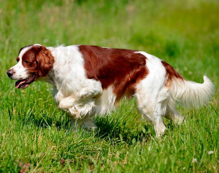 Ирландский красно-белый сеттер на прогулке