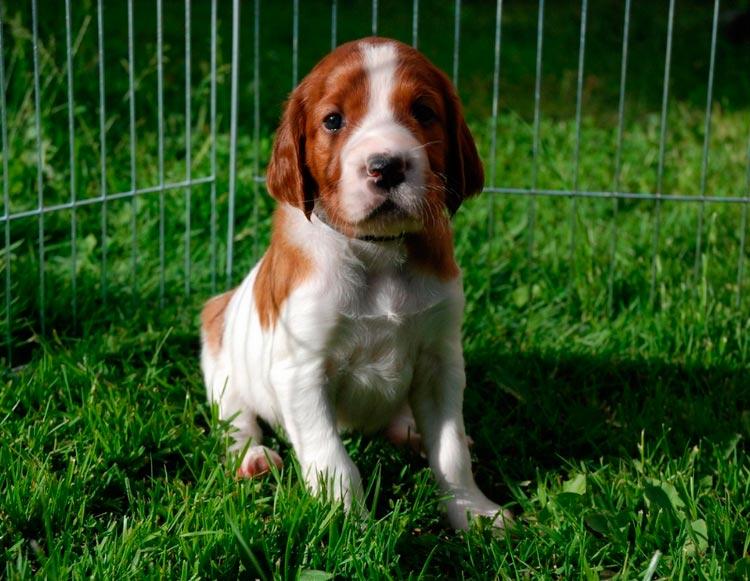 Ирландский красно-белый сеттер щенок
