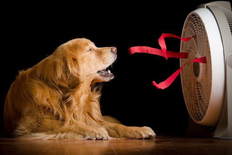 Собака у вентилятора