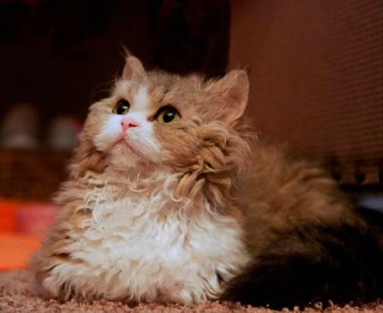 порода кошек скукум