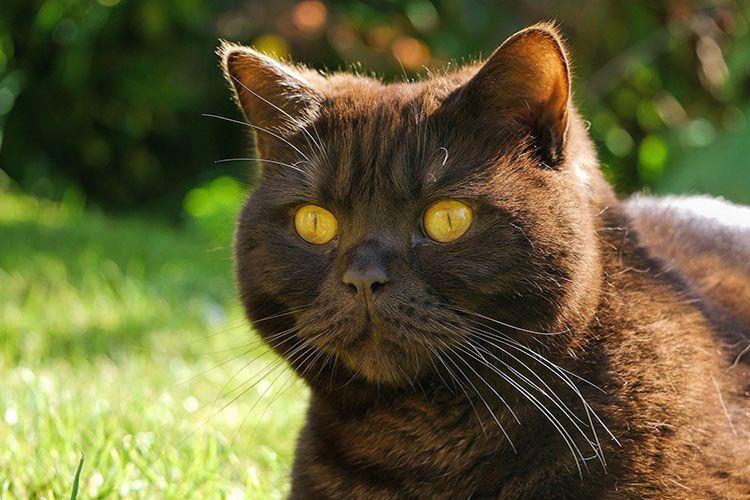 Глаза шоколадной кошки