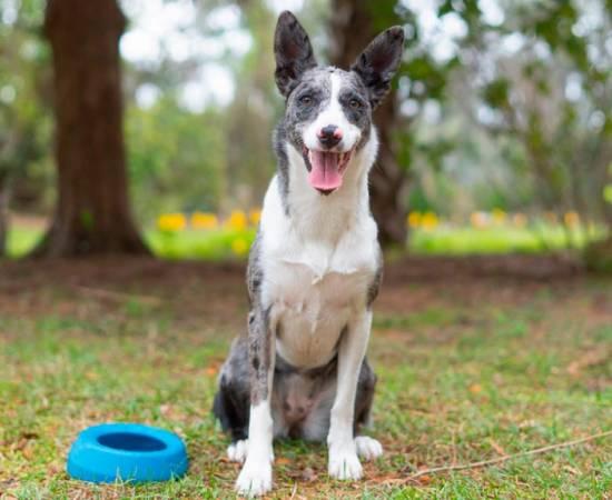 собака Австралийский кули
