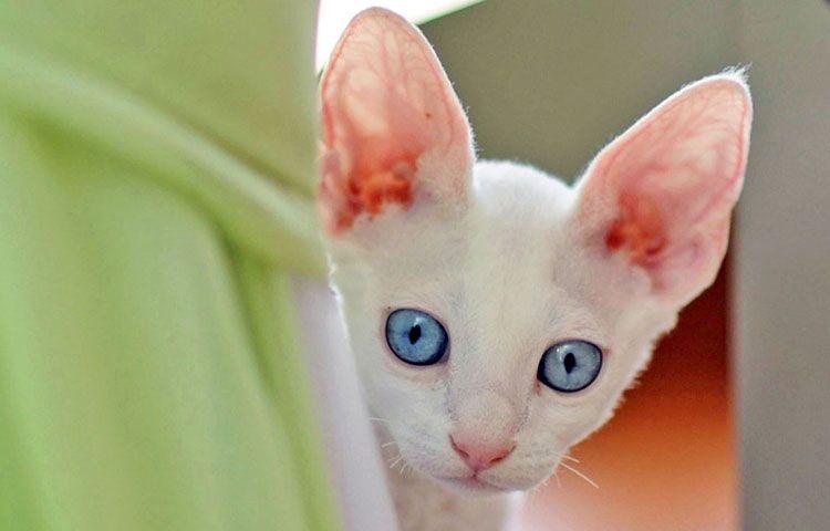 Белый котёнок с большими ушами