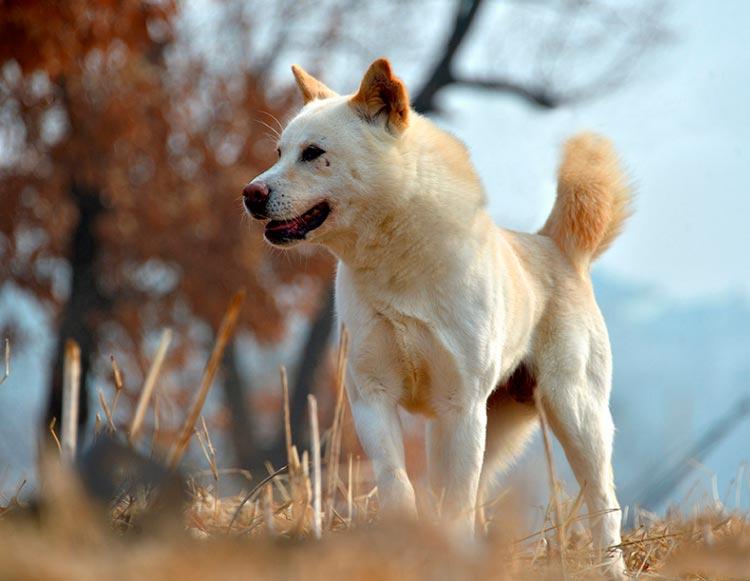 порода собак пхунсан