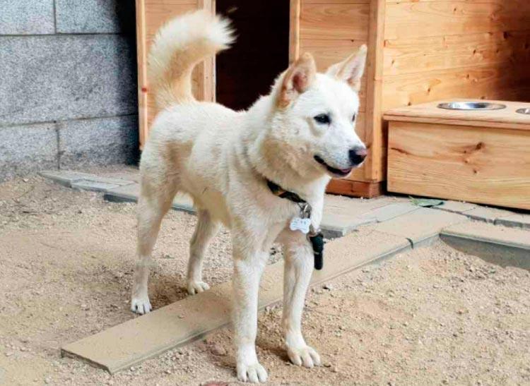 как выглядит собака пхунсан