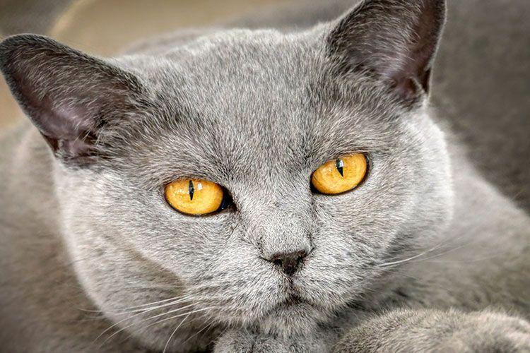 Серый кот с янтарными глазами