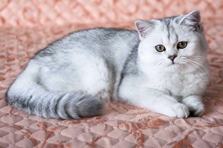 Серебристо-серая кошка