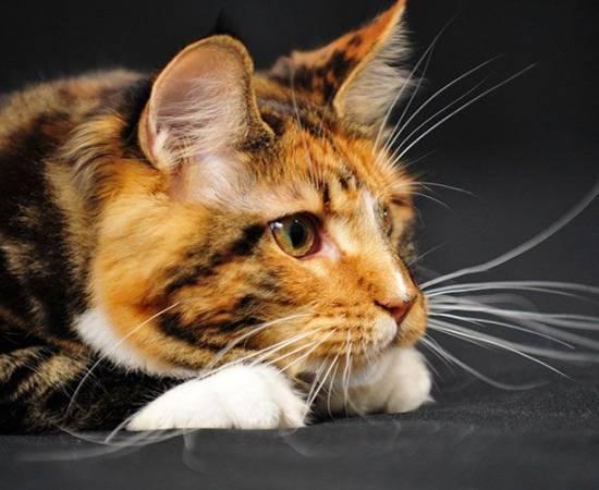 Кошка с длинными усами