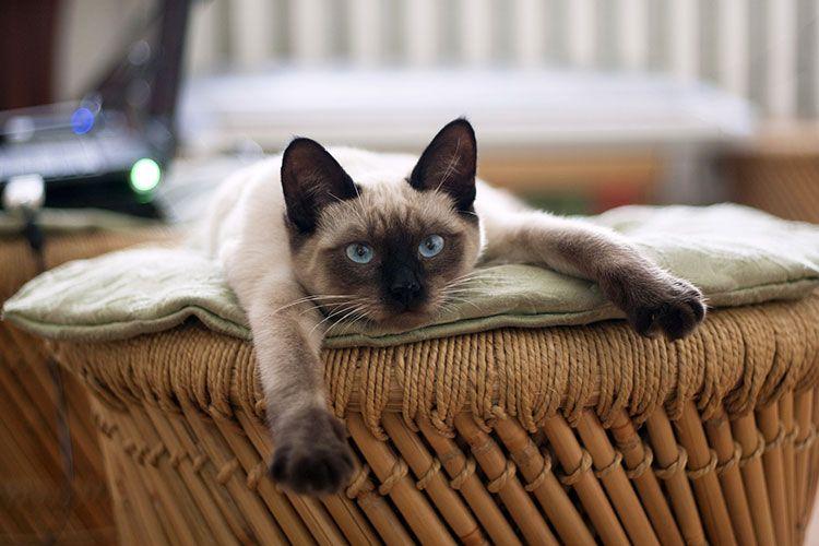 Сиамский кот отдыхает