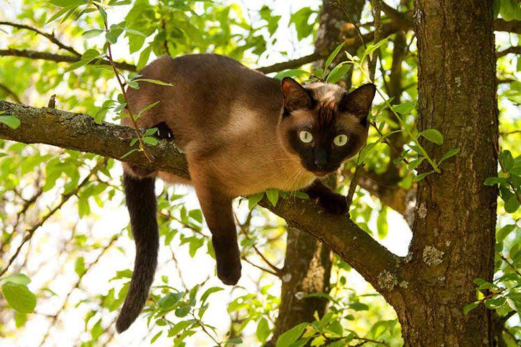 Сиамская кошка на дереве