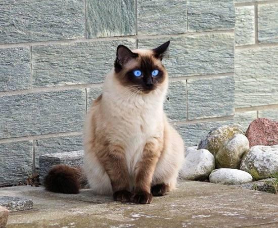 Пушистая сиамская кошка